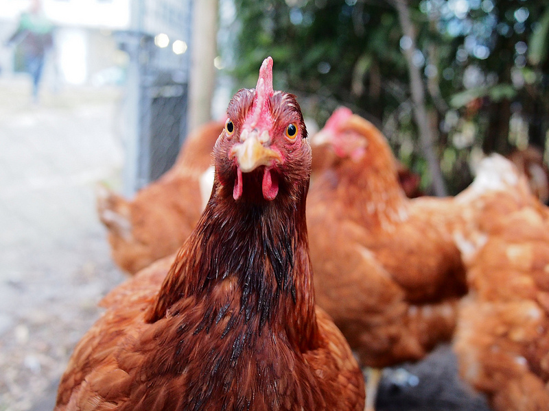 What to Do if Your Coop & Hen House is Infested with
