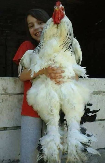 Image result for brahma chicken size comparison