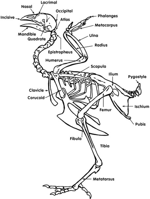 Chicken Skeleton Diagram